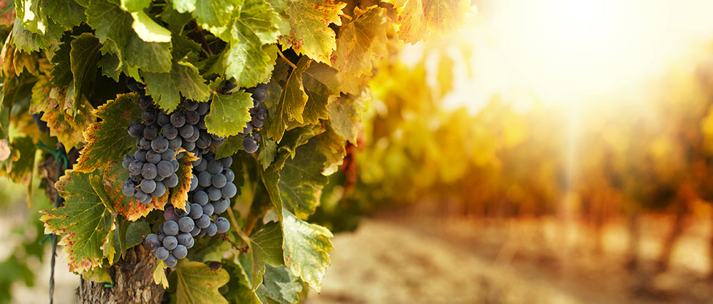 Le Clos Palombière : votre vigne